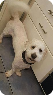 Poodle (Miniature)/Basset Hound Mix Dog for adoption in Sherman Oaks, California - Douglas