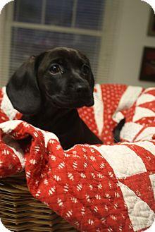 Dachshund Mix Puppy for adoption in Homewood, Alabama - Frank