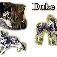 Adopt A Pet :: Duke II - Seminole, FL
