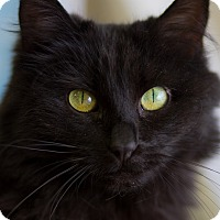 Maine Coon Cat for adoption in Belton, Missouri - Sydnee
