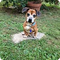 Adopt A Pet :: Mikey - South Amboy, NJ