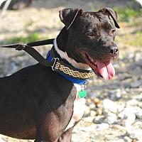 Pit Bull Terrier Dog for adoption in St John, Virgin Islands - Tux
