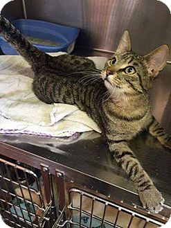 Domestic Shorthair Cat for adoption in Grinnell, Iowa - Quincy
