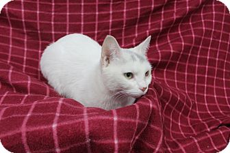 Domestic Shorthair Cat for adoption in Danville, Illinois - MOMA