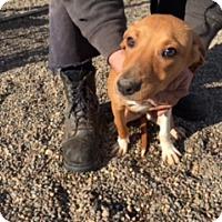 Adopt A Pet :: BAYLI - Elk Grove, CA