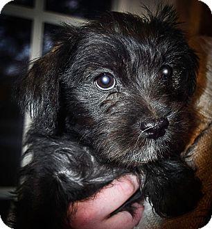 Terrier (Unknown Type, Medium)/Shih Tzu Mix Puppy for adoption in Astoria, New York - Teebo: Adoption Pending