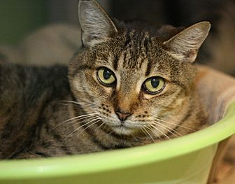 Domestic Shorthair Cat for adoption in Canoga Park, California - Cornflakes