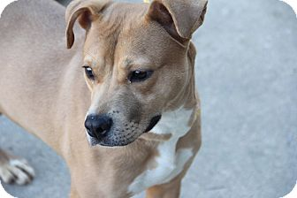 Pit Bull Terrier Mix Dog for adoption in Greensboro, North Carolina - Dancer