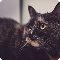 Domestic Shorthair Cat for adoption in Manchester, New Hampshire - Miss Kitty-Watch my new video!