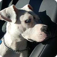 Adopt A Pet :: Peyton - Dallas, TX