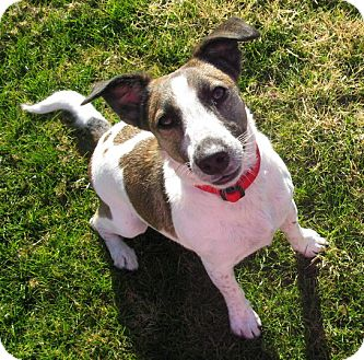 Jack Russell Terrier Dog for adoption in Scottsdale, Arizona - GABBY