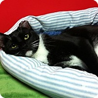 Domestic Shorthair Cat for adoption in Topeka, Kansas - Shyann