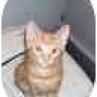 Adopt A Pet :: Sassy - Odenton, MD