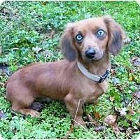 Adopt A Pet :: Inga - Mocksville, NC