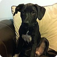 Adopt A Pet :: Joey - Seattle, WA