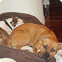 Adopt A Pet :: Boxer - Houston, TX