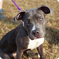 Adopt A Pet :: Snowball - Reisterstown, MD