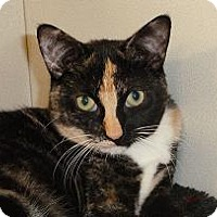 Domestic Shorthair Cat for adoption in Massapequa, New York - Roberta