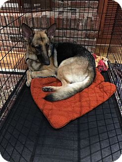 German Shepherd Dog Dog for adoption in Houston, Texas - Starlet