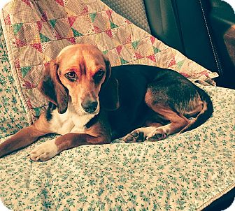 Beagle Mix Dog for adoption in Sweetwater, Tennessee - Greselda