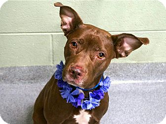 American Staffordshire Terrier Mix Dog for adoption in Long Beach, New York - Mocha