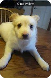 Australian Shepherd/Sheltie, Shetland Sheepdog Mix Puppy for adoption in Racine, Wisconsin - Grandma Willow