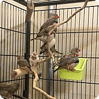 Adopt A Pet :: Zebra Finches - Stratford, CT