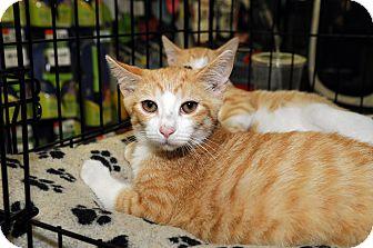 Domestic Shorthair Cat for adoption in Farmingdale, New York - Flannigan
