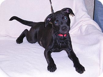 "Labrador Retriever/American Pit Bull Terrier Mix Puppy for adoption in New Castle, Pennsylvania - "" Josie """