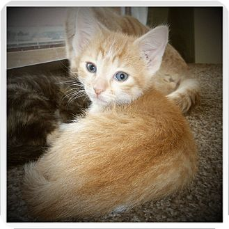 Domestic Shorthair Kitten for adoption in Medford, Wisconsin - MOTLEY