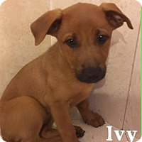 Adopt A Pet :: Ivy - Homestead, FL
