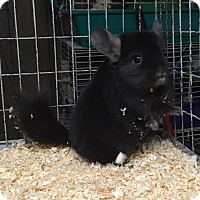 Adopt A Pet :: 4 mo dark ebony F chinchilla - Hammond, IN