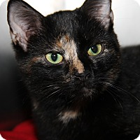 Adopt A Pet :: Nikki (Spayed) - Marietta, OH