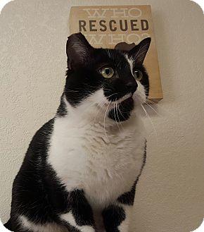 Domestic Shorthair Cat for adoption in Hawk Point, Missouri - Arlo