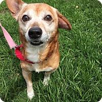 Adopt A Pet :: PETER - Methuen, MA