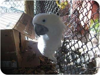 Cockatoo for adoption in Melbourne Beach, Florida - Sassy