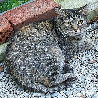 Domestic Shorthair Cat for adoption in Lenhartsville, Pennsylvania - Fiona