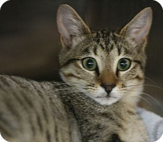 Domestic Shorthair Kitten for adoption in Canoga Park, California - Jayson