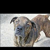 Mastiff/Great Dane Mix Dog for adoption in Hankamer, Texas - Auto- WATCH MY VIDEO
