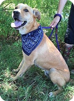 Labrador Retriever Mix Dog for adoption in Kaufman, Texas - Austin
