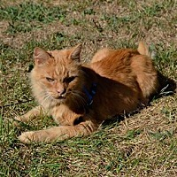 Domestic Longhair Cat for adoption in Yardley, Pennsylvania - Cheddar