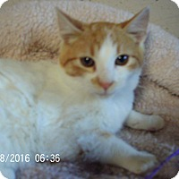 Adopt A Pet :: Cheeto-COMING SOON! - Bridgeton, MO