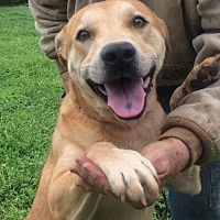Labrador Retriever Mix Dog for adoption in Slidell, Louisiana - Dustin