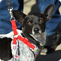 Jack Russell Terrier/Chihuahua Mix Dog for adoption in Rockville, Maryland - Cornette