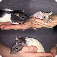 Rat for adoption in South Bend, Indiana - Breezy, Stormy & Rayne
