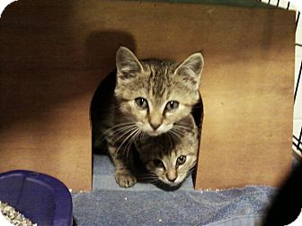 """Domestic Shorthair Kitten for adoption in Clay, New York - TWO BABY GIRL""""Sand A boy"""