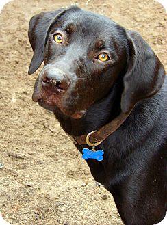 Labrador Retriever/Hound (Unknown Type) Mix Dog for adoption in Orange Lake, Florida - Oreo