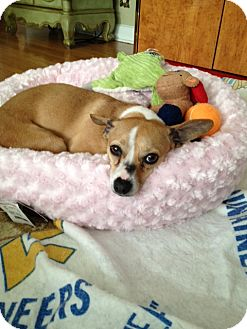Chihuahua/Jack Russell Terrier Mix Dog for adoption in North Brunswick, New Jersey - Claire