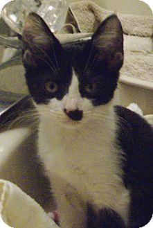 Domestic Shorthair Kitten for adoption in St. Petersburg, Florida - Juliet