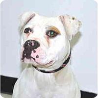 Adopt A Pet :: Harlee - Port Washington, NY